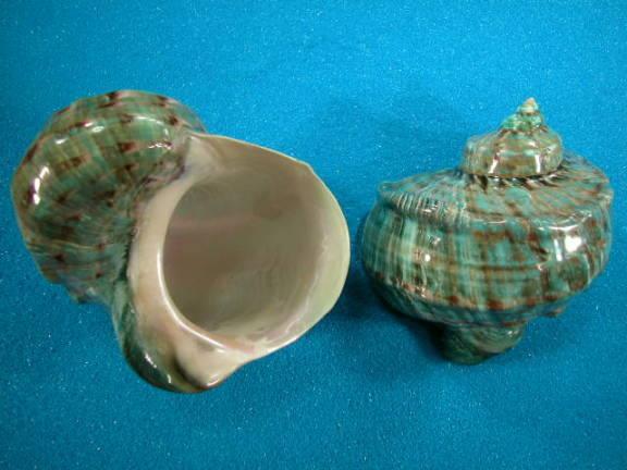 File:Green turbo snail shell1.jpg