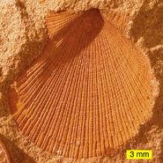 Aviculopecten subcardiformis01