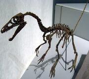 Sinosauropteryxskull