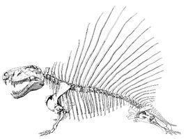 Dimetrodon skeletal1