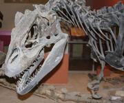 Allosaurus NHM