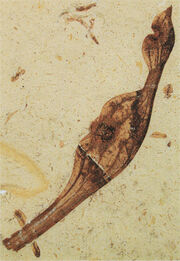 Archaeamphora longicervia holotype