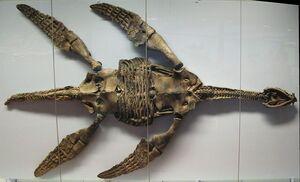 Fossil-Plesiosaurier-Skelett