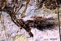 Caudipteryx arm