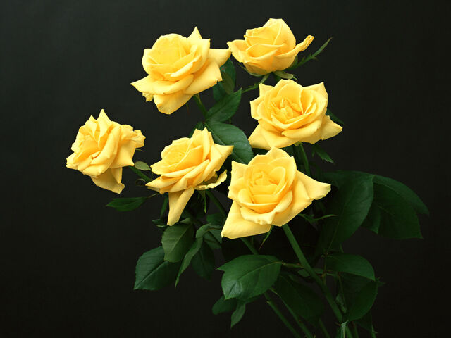 File:Six-roses-wallpapers 5268 1600x1200.jpg