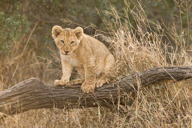 File:0908 lion cub.jpg