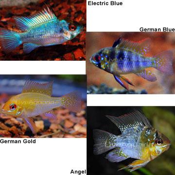 Ram Freshwater Fish Wiki Fandom Powered By Wikia