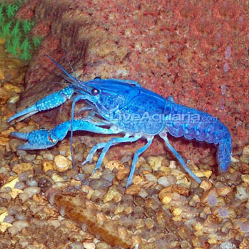 Hammers Cobalt Blue Lobster | Freshwater fish Wiki | FANDOM powered by Wikia
