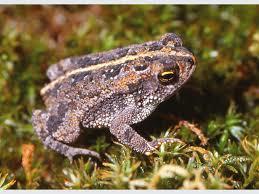 File:Oak toad.png