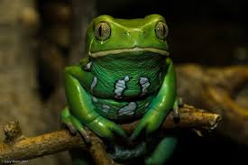 File:Waxy monkey frog.png