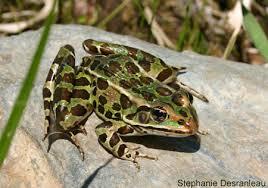 File:Frog 1.png