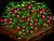 Imported Boysenberry-icon