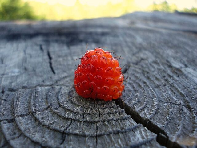 File:Salmonberry.jpg