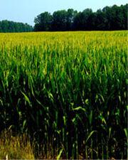 Field of green Jowo small