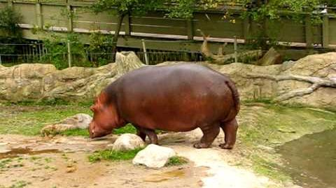Hippo gets explosive diarrhea.