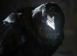 Three-eyed raven