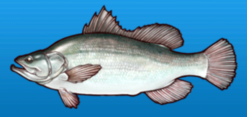 File:Nile perch.png