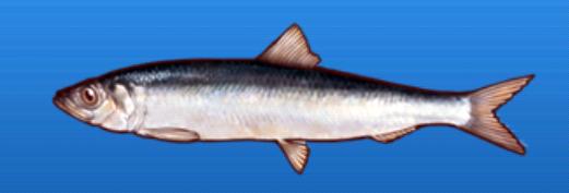 File:Pacific herring.png