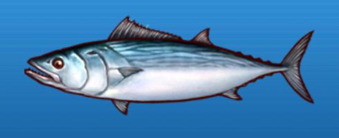 File:Striped bonito.png