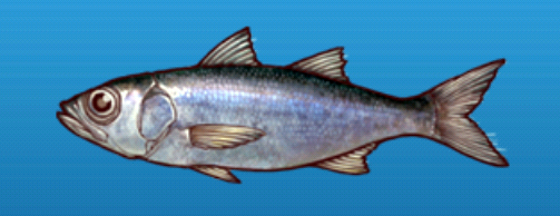 File:Bluefish.png
