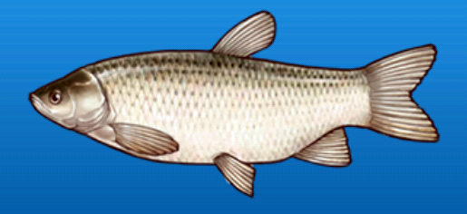 File:Grass carp.png