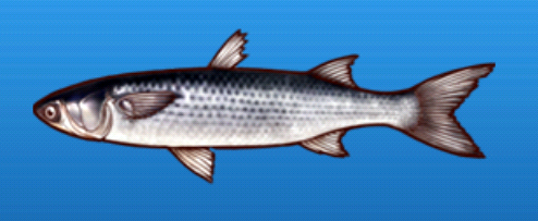File:Gray mullet.png