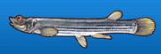 Striped foureyed fish