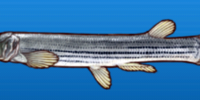 Striped foureyed fish