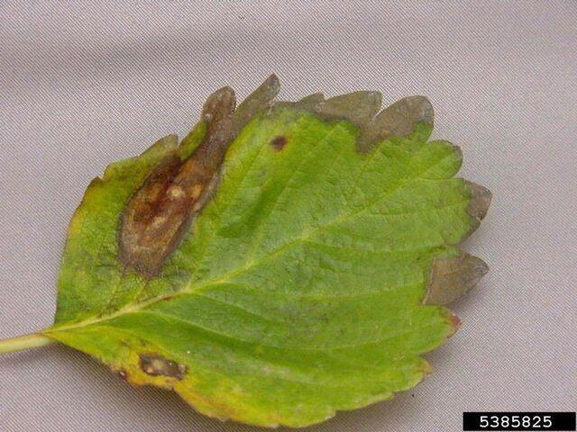 File:Strawberry Phomopsis blight Phomopsis obscurans.jpg