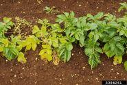 Potato Potato cyst nematode Globodera pallida