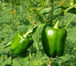 Sweet pepper Giallo d'asti