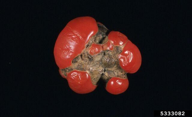 File:Tomato Catfacing 2.jpg