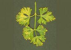 Parsley Celery mosaic virus
