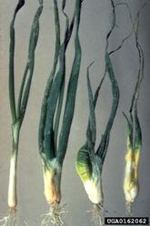Onion Bulb Stem Nematode