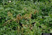 Potato Rhizoctonia Solani