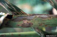 Corn Cercospora leaf spot Cercospora zeae-maydis close up leaf