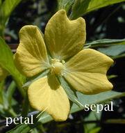 Petal Sepal
