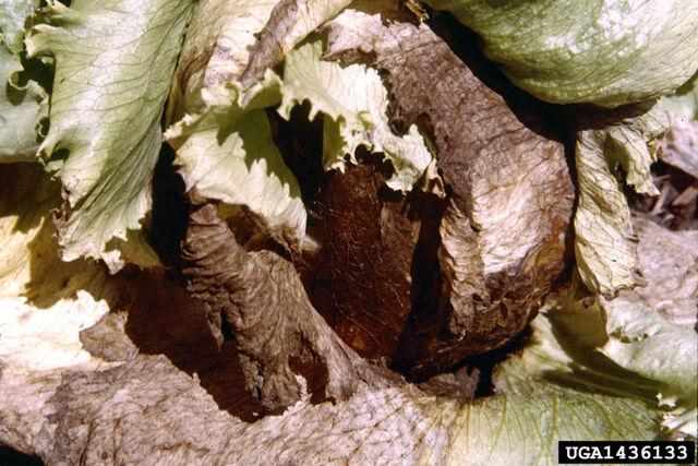 File:Lettuce Sclerotinia Rot.jpg