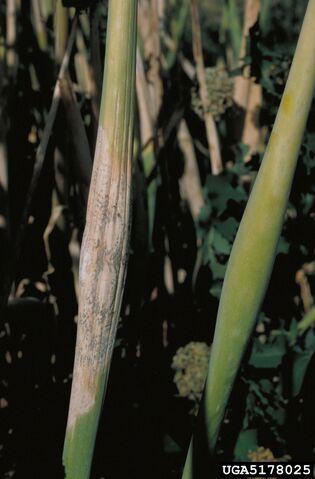 File:Onion Neck Rot Leaf.jpg