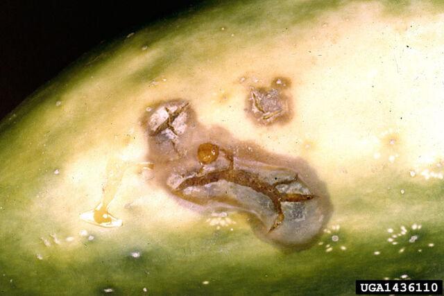 File:Cucumber Rhizoctonia solani.jpg