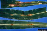 Corn Anthracnose Glomerella graminicola Leaves
