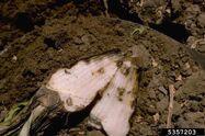 Common Beet Rhizoctonia Solani