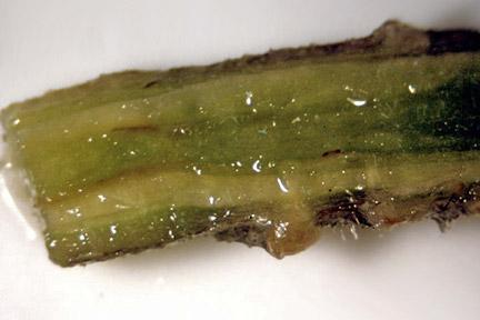 File:Tomato Verticillium Wilt.jpg