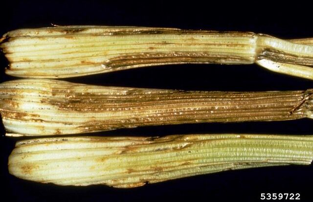 File:Celery Cucumber Mosaic Virus.jpg