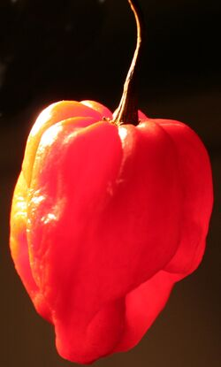 Chilli Scotch bonnet