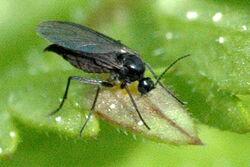 Sciarid fly Sciara hemerobioides