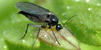 Sciarid fly