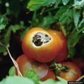 Tomato Sun Scald 2