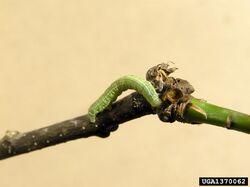 Oak Winter moth caterpillar Operophtera brumata