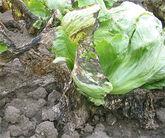 Lettuce Bacterial leaf spot Xanthomonas campestris pv. vitans5